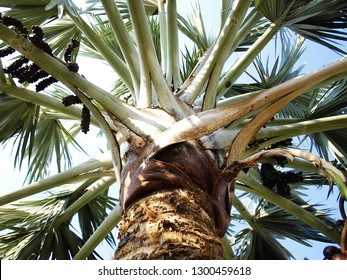 Palm Bismarck (Bismarck Nobilis) is a beautiful outdoor garden ornamental plant. The leaves are grayish-green, with white clay covered. Stems are used to make sago flour. Originated in Madagascar.