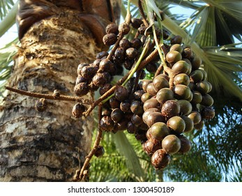 Palm Bismarck (Bismarck Nobilis) has a dark green color, a beautiful bunch hanging on the trunk. Is an outdoor garden ornamental plant with grayish-green leaves and trees native to Madagascar.