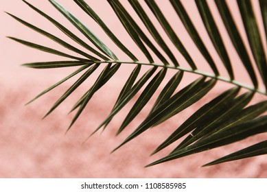 Palm Branch with Terracotta Pink Stone Wall Background, Marrakech, Morocco