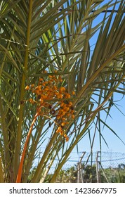 Palm branches with fruits on blue sky