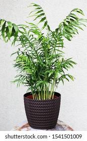 palm Chamaedorea in flower pots