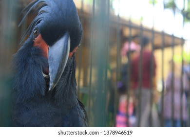 Palm Cockatoo or goliath cockatooorgreat black cockatoo inside the cage looking at you.