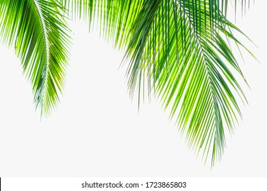 Palm coconut leaves on a isolated white background