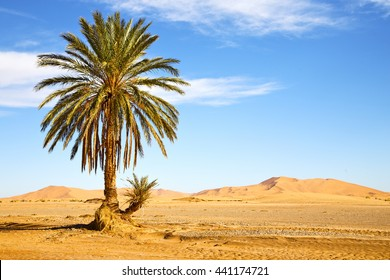 palm in the  desert oasis morocco sahara africa dune