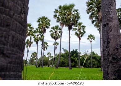 Palm field in Thailand's Phetchaburi province