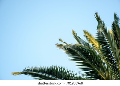 Palm fronds against a blue sky as a background with space for copy