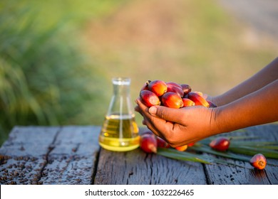 Palm fruit in hand and palm oil