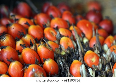Palm fruits in Sumatra, Indonesia.