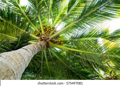Palm full of coconuts on maldivian beach