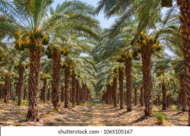 Palm Grove. Beautiful perspective from palm trees. Cultivation of date palms in Israel. Agriculture in the Middle East.