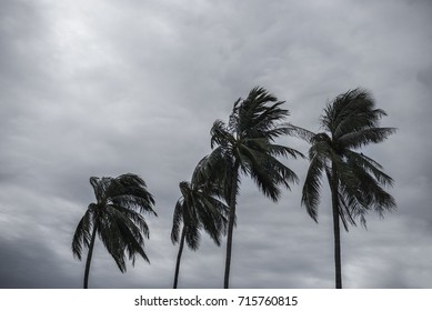 Palm at hurricane