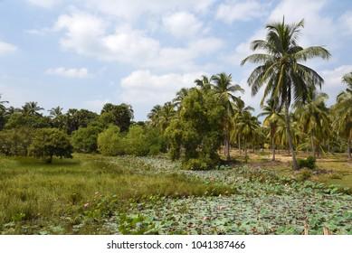 Palm landscape,Sri Lanka