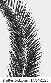 Palm leaf in black and white