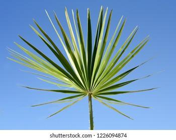 Palm leaf, dwarf palm