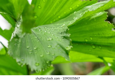Palm leaf green and water drop close up of After Rain.