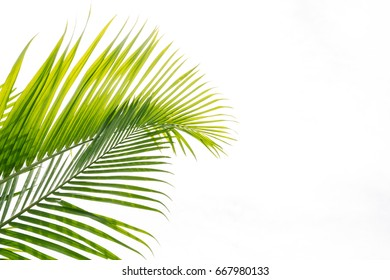 palm leaf isolated background