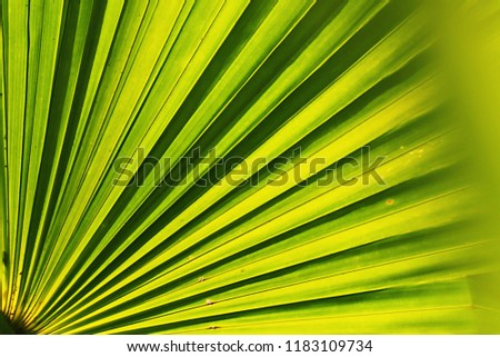 Palm Leaf Light Back See Line Stock Photo (Edit Now) 1183109734