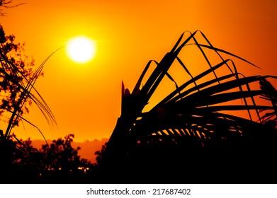 palm leaf siluette at sunset