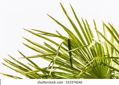 palm leaves close up (Trachycarpus fortunei) Chinese windmill palm,windmill palm or Chusan palm