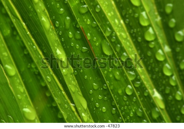 Palm leaves covered in waterdrops after rain and a misty morning