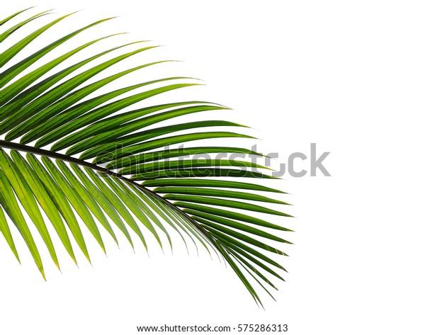 пальмовые листья изолированы на белом фоне