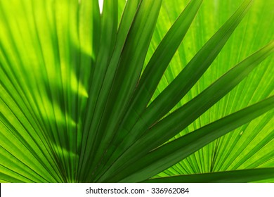 Palm  leaves (Livistona Rotundifolia palm), close up