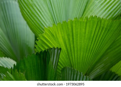 Palm Leaves as Natural Pattern Background