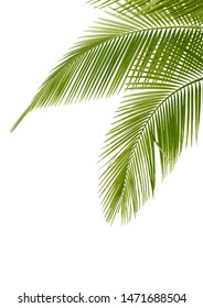 Palm Leaves, Tree Leave, Green Leaf of Coconut Tree Isolated on White Background.