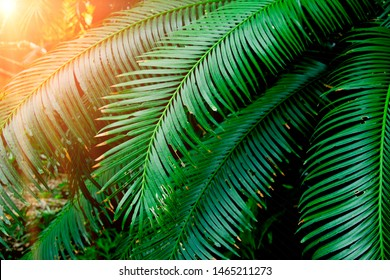 Palm leaves in tropical forests, dark green tones with sunlight