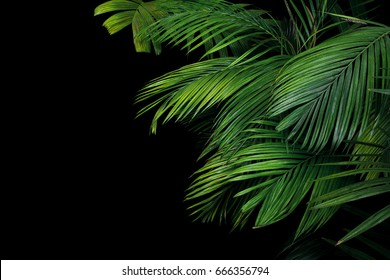 Palm leaves, the tropical plant growing in wild on black background.