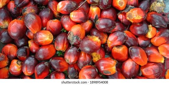 Palm loose fruit typical of Kalimantan