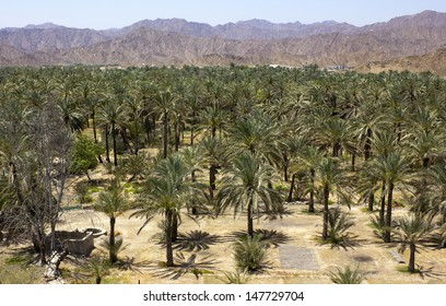 Palm oasis between the mountains in Fujairah (United Arab Emirates)