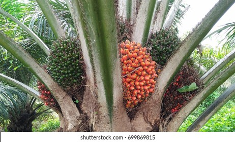 Palm oil fruit ripen on the tree