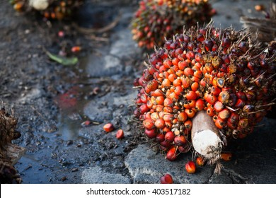 Palm Oil Fruits on the palm tree at Thailand