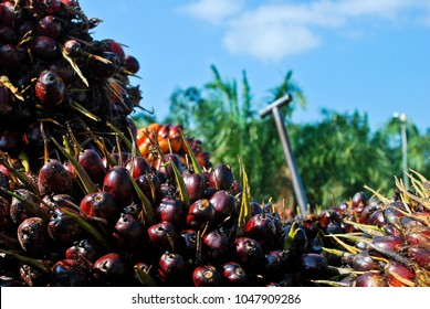 palm oil fruits with sky blue background