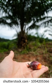 Palm oil plantation. Fruits before oil production