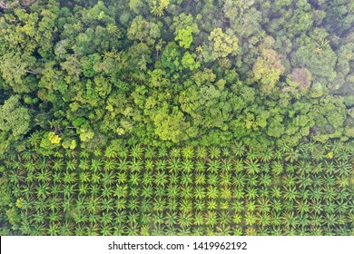 Palm oil plantation at rainforest edge. Deforestation in Malaysia destroys rain forest for oil palms