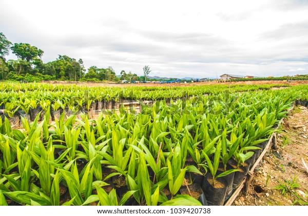 Palm Oil Plantation, Palm Oil Seeding