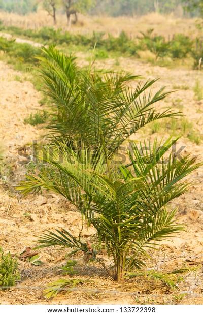 Palm oil plantation,Thailand