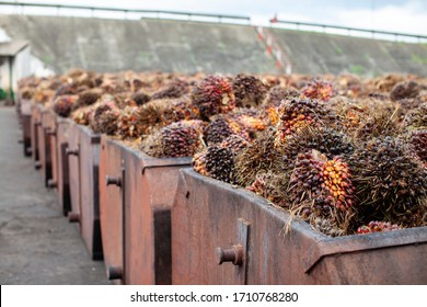 Palm Oil Production from raw Palm Fruit