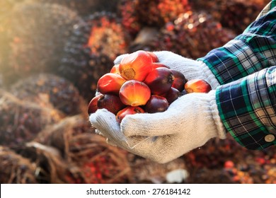 Palm oil seeds on male's hand