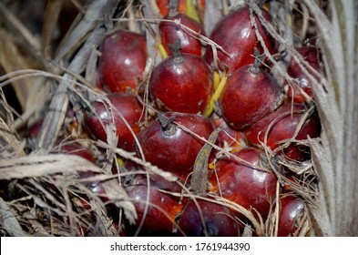 Palm oil seeds on palm three.Nature palm oil.