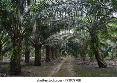 the palm oil trees