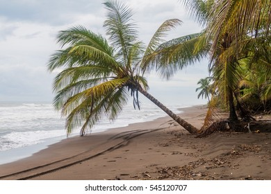 Palm on a beach in Tortuguero, Costa Rica