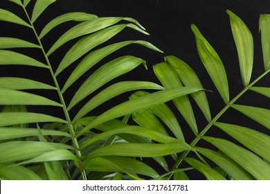 Palm plant leaves on a black background.