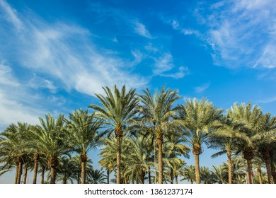 palm plantation forest park outdoor scenery landscape symmetry view on contrast vivid blue sky background from tropic south Middle East part of Earth natural wallpaper pattern with empty copy space