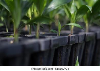 Palm seedlings in the nursery.