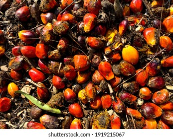 Palm seeds uprooted from fruit bunches