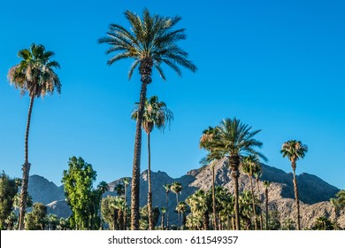 A Palm Springs landscape with Palm trees and the San Jacinto Mountain range.