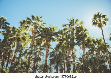 Palm Springs Movie Colony Palm Trees Shot from the movie colony neighborhood in Palm Springs California with lush Palm Trees being the focal point of the image and blue sky in the background.